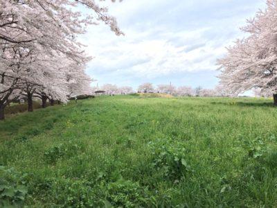 東松山市 花見の穴場 桜